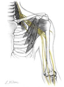 Shoulder yellow nerves (2)